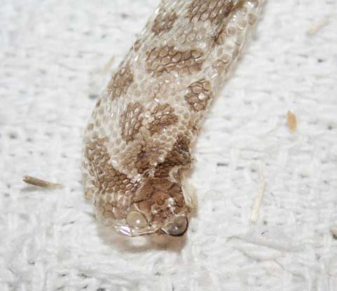 Shed skin from a Western Hognose Snake