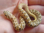 Western Hognose in hand