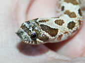 Western hognose up close cute