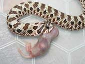 Hognose feeding outside the vivarium ona pinkie mouse